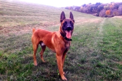Roy - Belgian Malinois breed