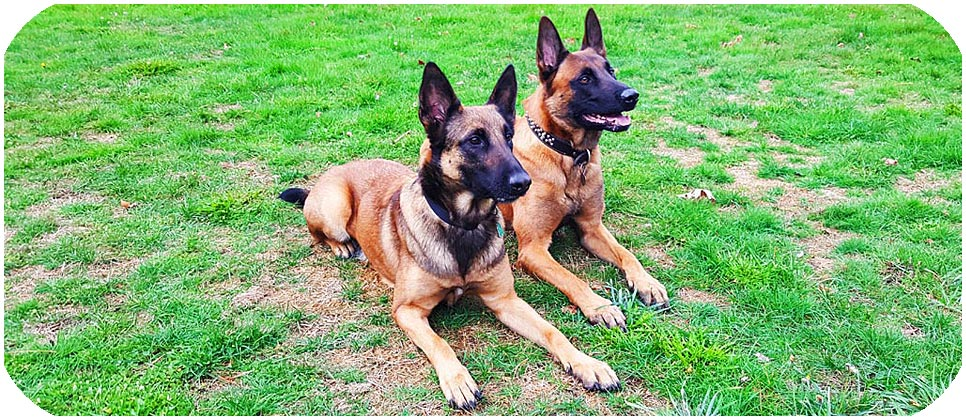 Belgian Malinois Puppies For Sale In Massachusetts USA